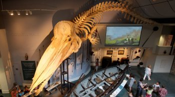 Whaling Museum Sperm Whale