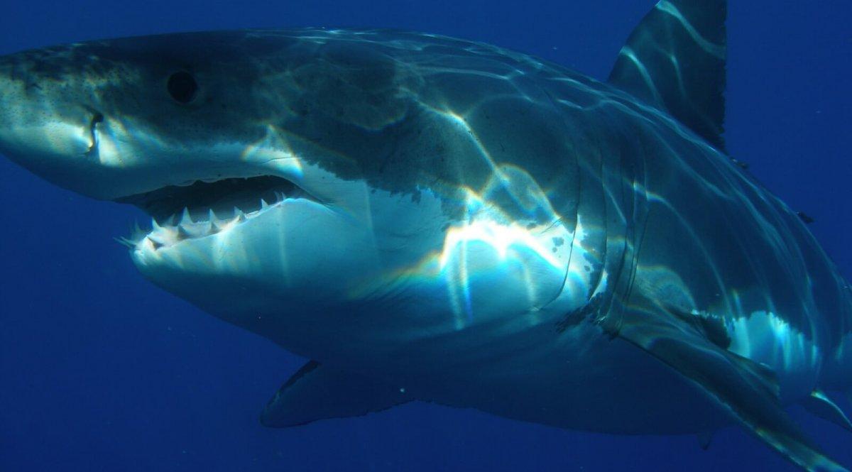 Great white shark swimming.